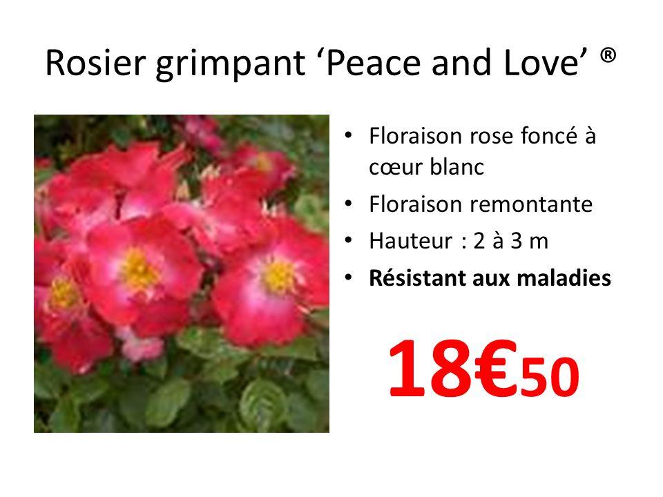Rosier grimpant Peace and Love ® Floraison rose foncé à cœur blanc Floraison remontante Hauteur : 2 à 3 m Résistant aux maladies 18 50