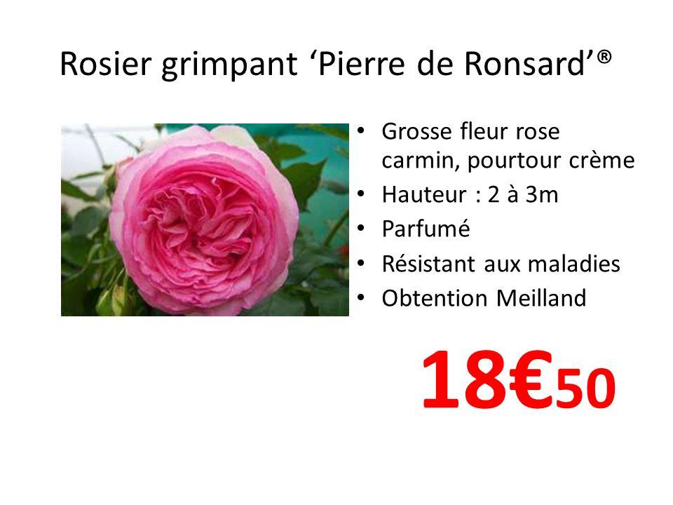 Rosier grimpant Pierre de Ronsard® Grosse fleur rose carmin, pourtour crème Hauteur : 2 à 3m Parfumé Résistant aux maladies Obtention Meilland 18 50