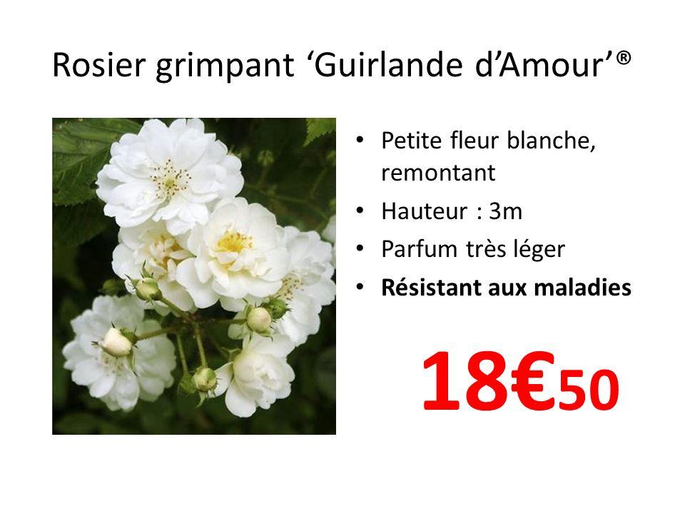 Rosier grimpant Guirlande dAmour® Petite fleur blanche, remontant Hauteur : 3m Parfum très léger Résistant aux maladies 18 50