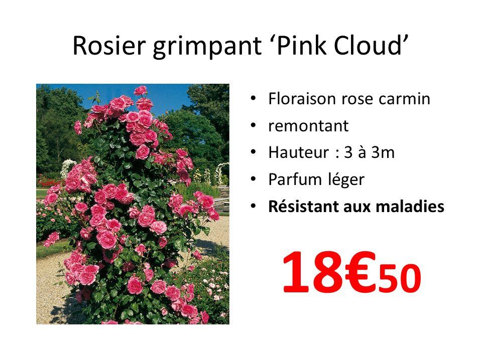 Rosier grimpant Pink Cloud Floraison rose carmin remontant Hauteur : 3 à 3m Parfum léger Résistant aux maladies 18 50