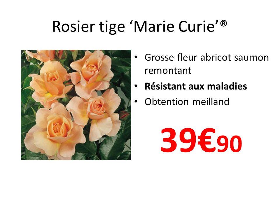 Rosier tige Marie Curie® Grosse fleur abricot saumon remontant Résistant aux maladies Obtention meilland 39 90