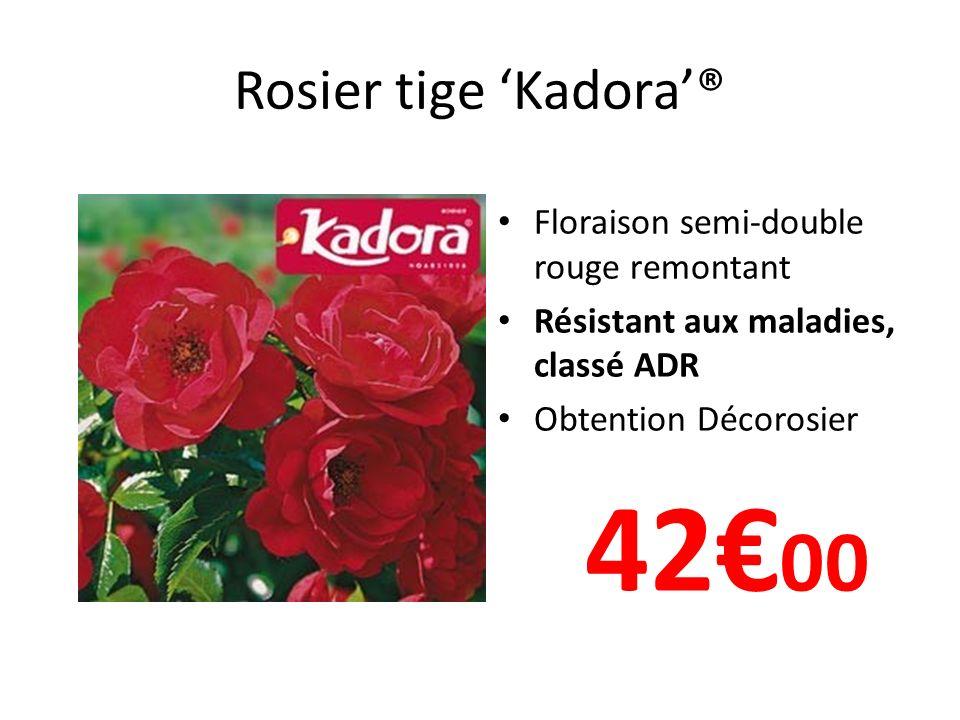 Rosier tige Kadora® Floraison semi-double rouge remontant Résistant aux maladies, classé ADR Obtention Décorosier 42 00