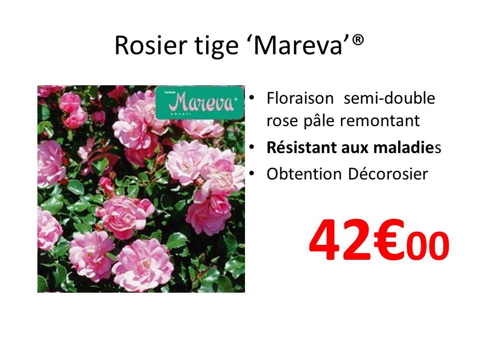 Rosier tige Mareva® Floraison semi-double rose pâle remontant Résistant aux maladies Obtention Décorosier 42 00