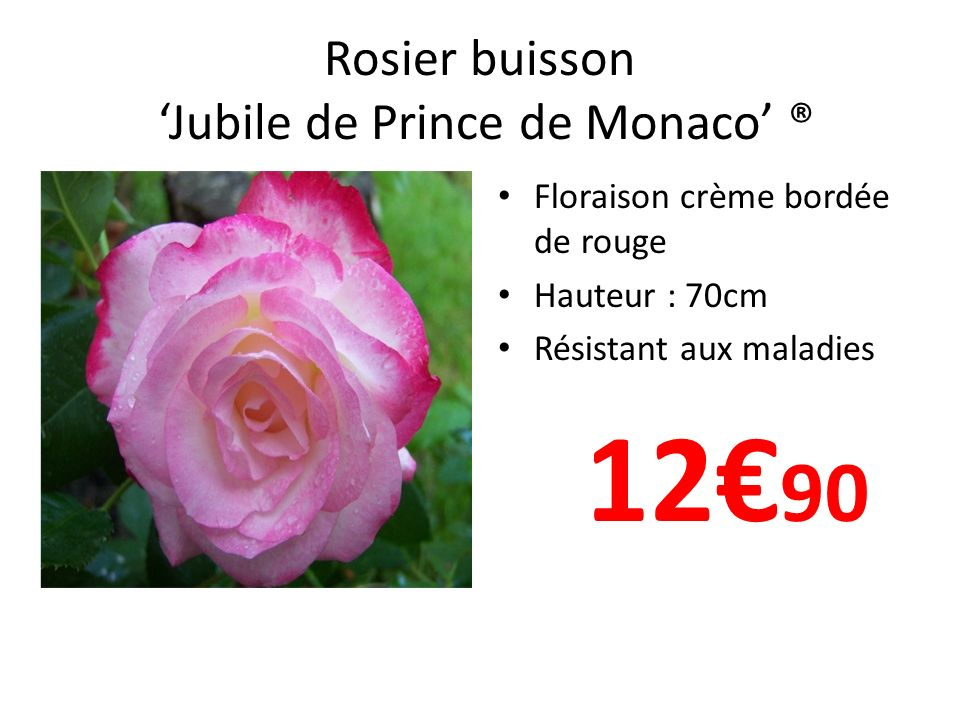 Rosier buisson Jubile de Prince de Monaco ® Floraison crème bordée de rouge Hauteur : 70cm Résistant aux maladies 12 90
