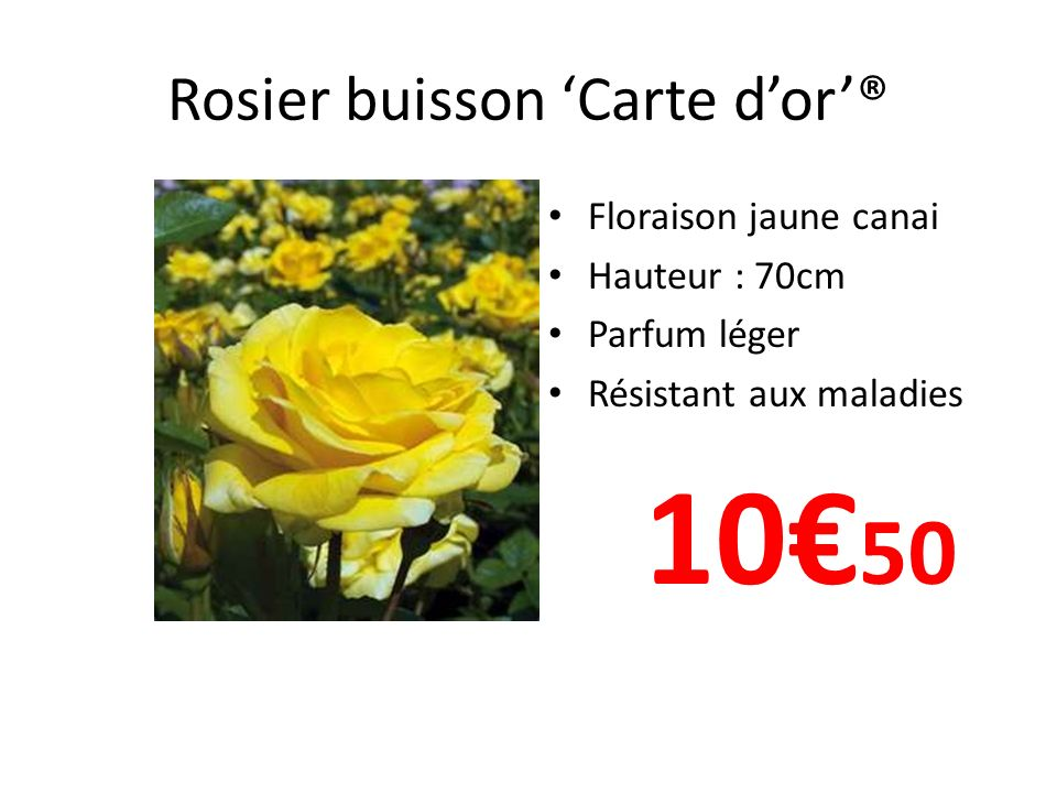 Rosier buisson Carte dor® Floraison jaune canai Hauteur : 70cm Parfum léger Résistant aux maladies 10 50