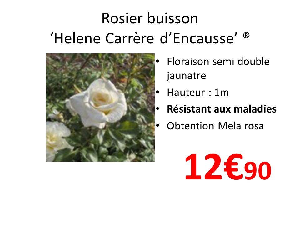 Rosier buisson Helene Carrère dEncausse ® Floraison semi double jaunatre Hauteur : 1m Résistant aux maladies Obtention Mela rosa 12 90