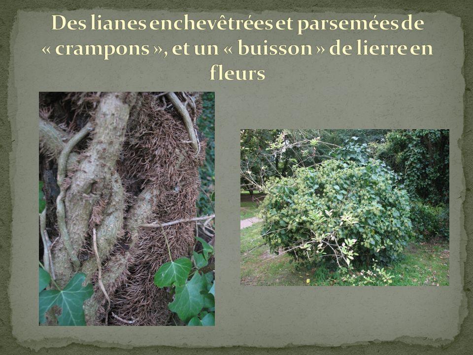 Cest une liane qui qui senracine dans le sol et saccroche aux troncs des arbres par une multitude petits « crampons ».