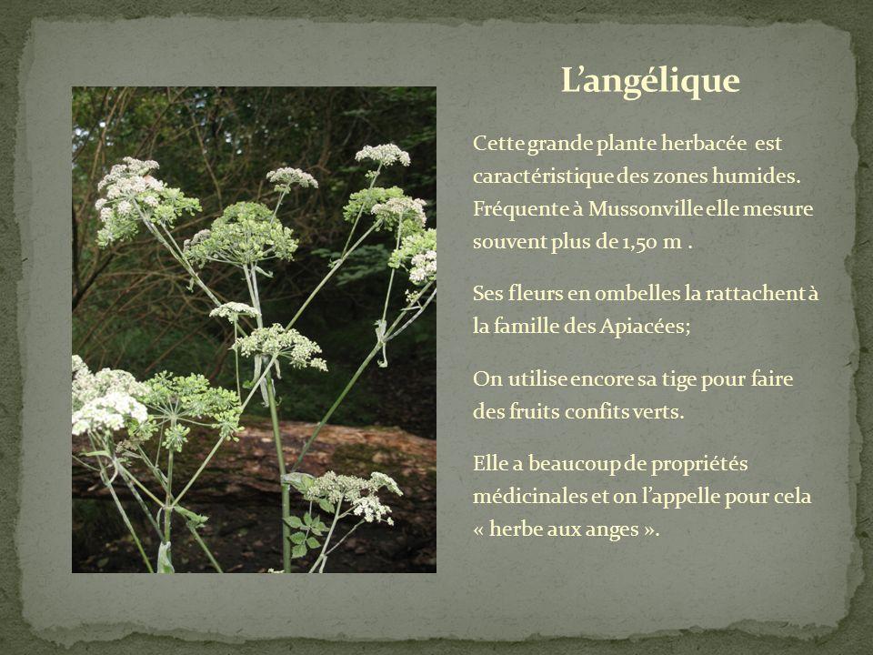 Cette plante aux drôles de fleurs en épis fait partie de la famille des cypéracées dont les tiges ont une section triangulaire.