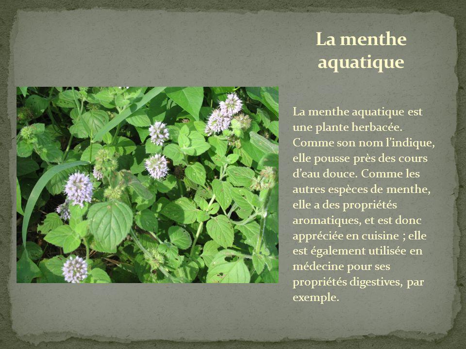 Cette grande plante herbacée est caractéristique des zones humides.