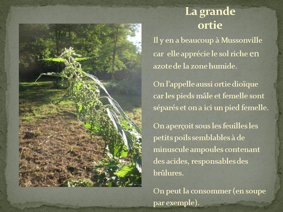 La menthe aquatique est une plante herbacée.
