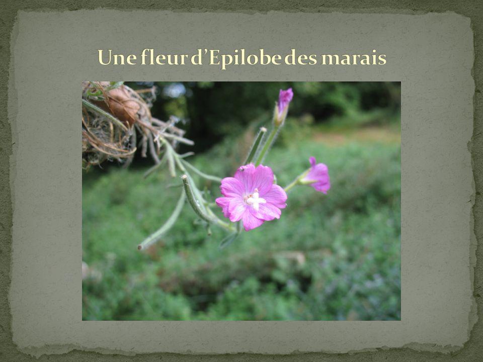 Lépilobe des marais est une grande herbacée, dont les fruits laissent échapper de minuscules graines possédant chacune un « petit parachute ». Elle es