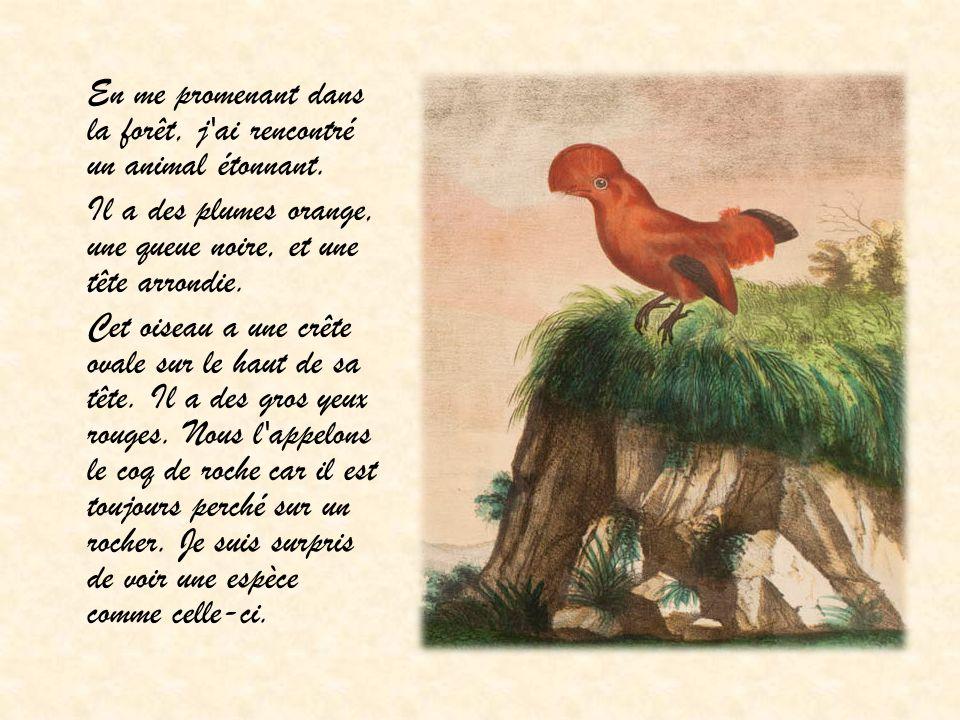 En me promenant dans la forêt, j'ai rencontré un animal étonnant. Il a des plumes orange, une queue noire, et une tête arrondie. Cet oiseau a une crêt