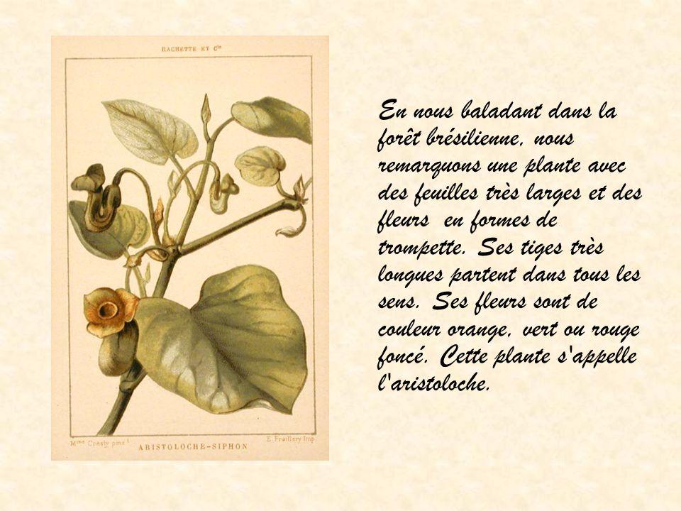 En nous baladant dans la forêt brésilienne, nous remarquons une plante avec des feuilles très larges et des fleurs en formes de trompette. Ses tiges t