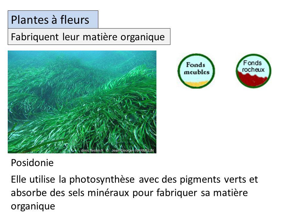 Plantes à fleurs Elle utilise la photosynthèse avec des pigments verts et absorbe des sels minéraux pour fabriquer sa matière organique Fabriquent leur matière organique Posidonie