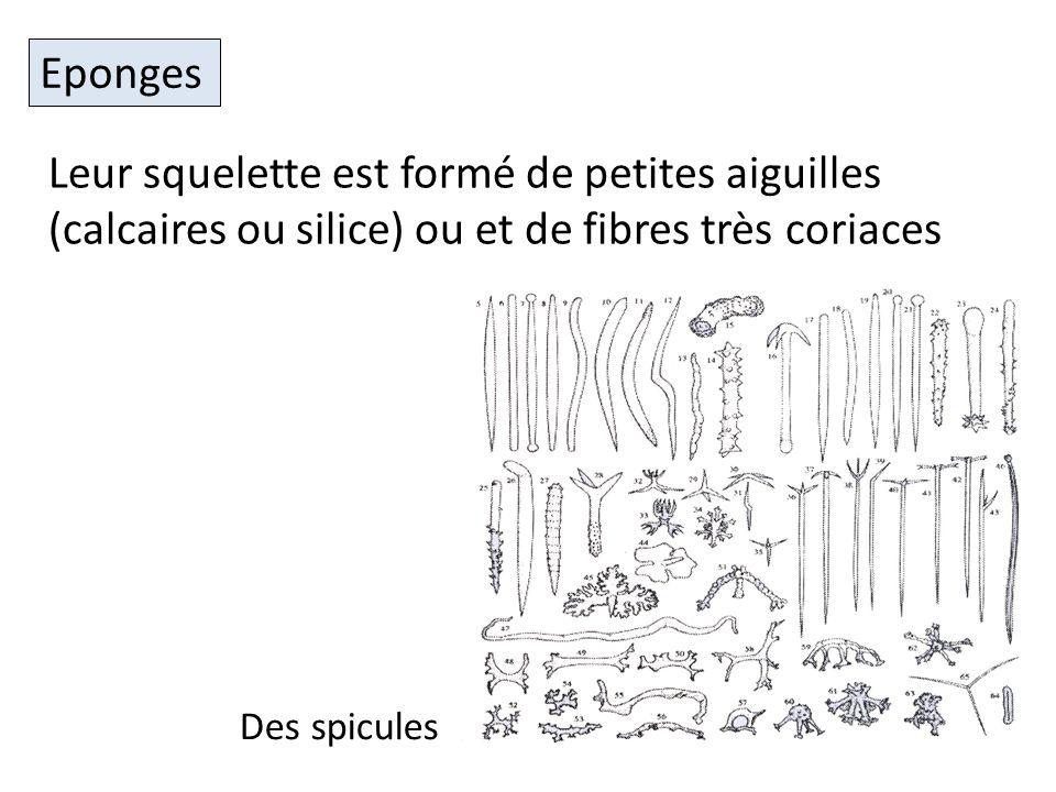 Leur squelette est formé de petites aiguilles (calcaires ou silice) ou et de fibres très coriaces Eponges Des spicules
