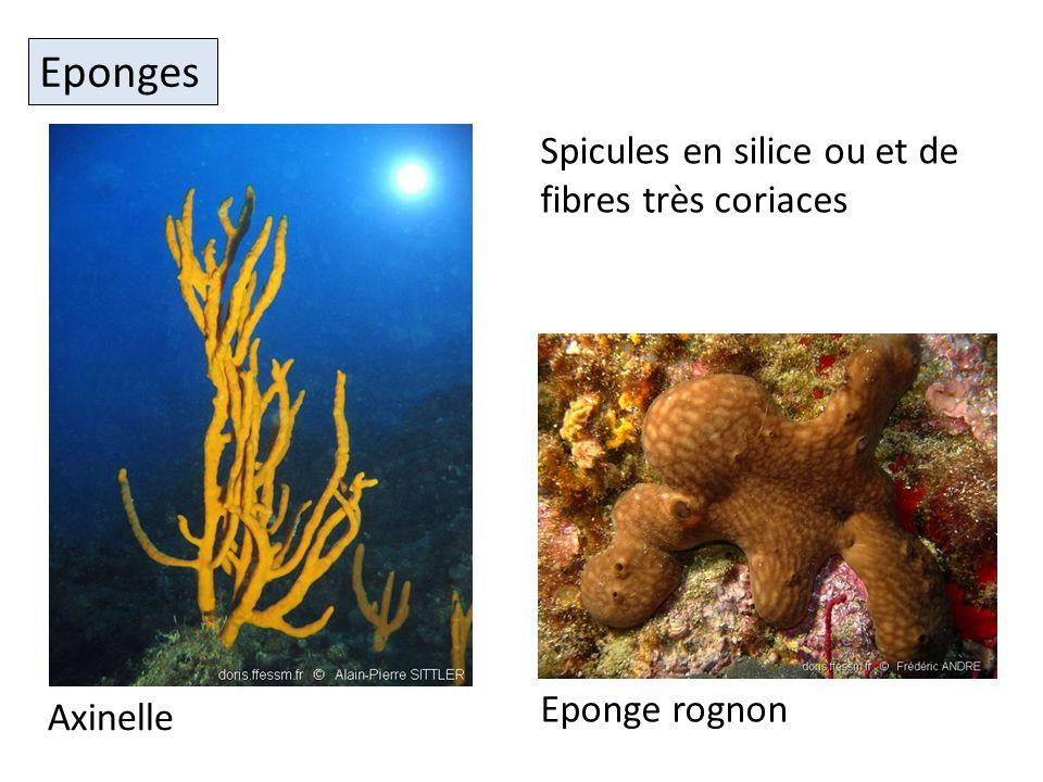 Eponges Axinelle Eponge rognon Spicules en silice ou et de fibres très coriaces