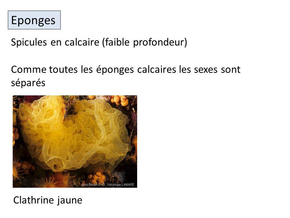 Eponges Clathrine jaune Spicules en calcaire (faible profondeur) Comme toutes les éponges calcaires les sexes sont séparés