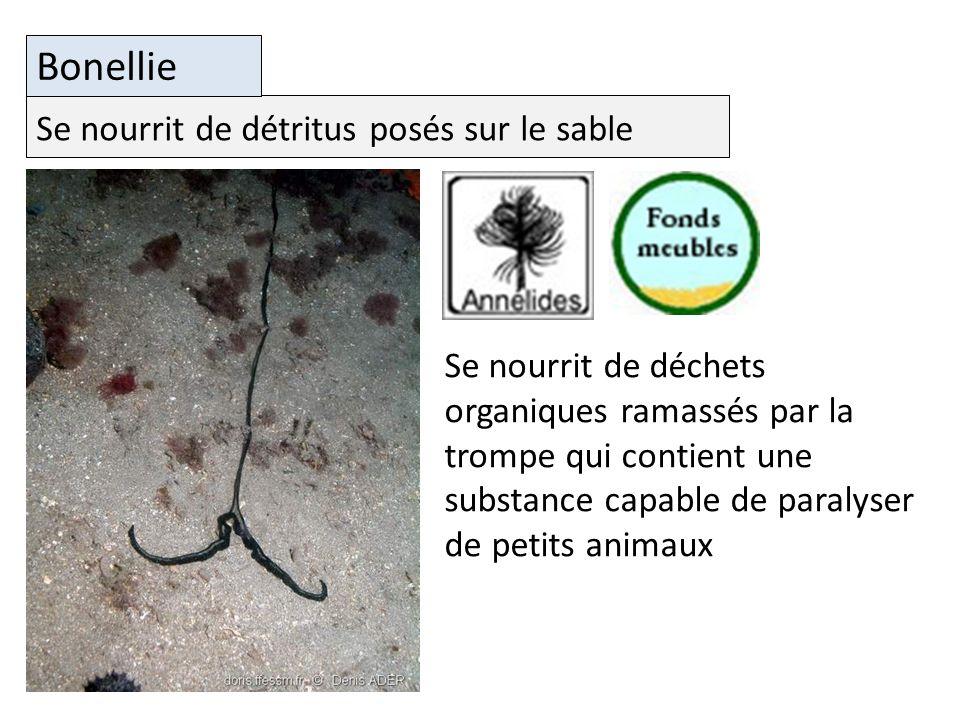Se nourrit de détritus posés sur le sable Bonellie Se nourrit de déchets organiques ramassés par la trompe qui contient une substance capable de paralyser de petits animaux