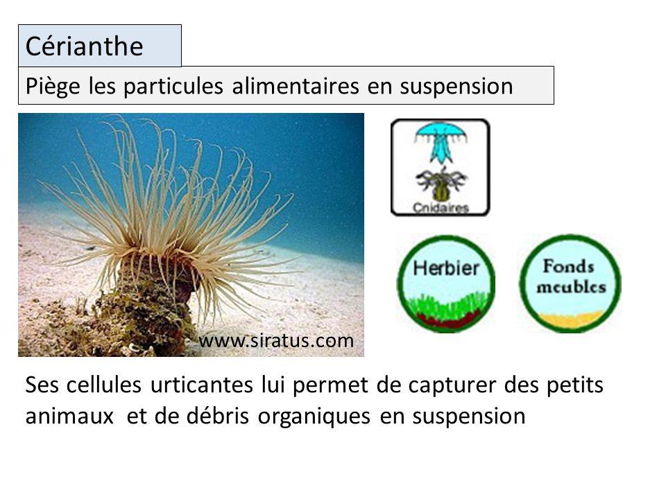 Piège les particules alimentaires en suspension Cérianthe Ses cellules urticantes lui permet de capturer des petits animaux et de débris organiques en suspension www.siratus.com