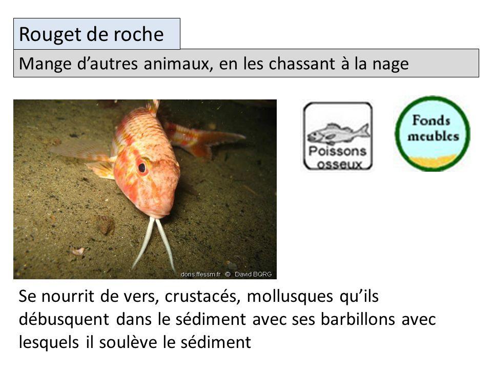 Se nourrit de vers, crustacés, mollusques quils débusquent dans le sédiment avec ses barbillons avec lesquels il soulève le sédiment Mange dautres animaux, en les chassant à la nage Rouget de roche