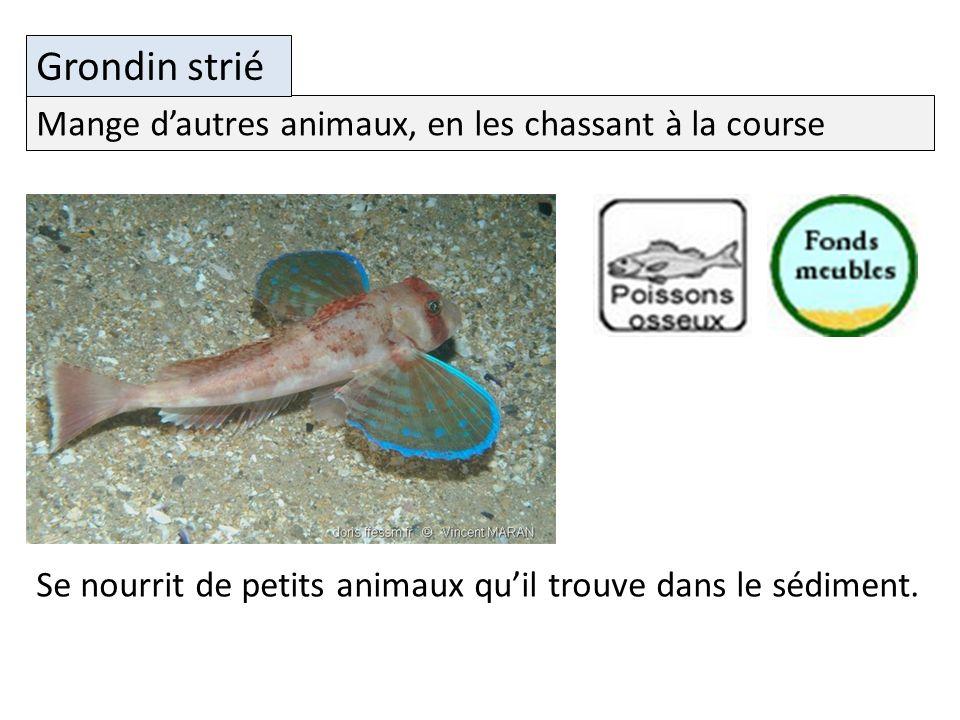 Mange dautres animaux, en les chassant à la course Grondin strié Se nourrit de petits animaux quil trouve dans le sédiment.