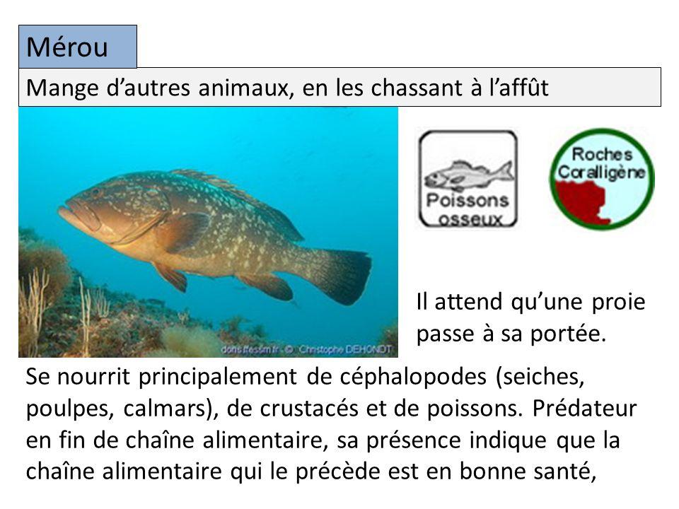 Se nourrit principalement de céphalopodes (seiches, poulpes, calmars), de crustacés et de poissons.