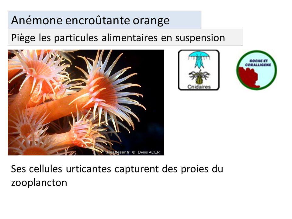 Anémone encroûtante orange Ses cellules urticantes capturent des proies du zooplancton Piège les particules alimentaires en suspension