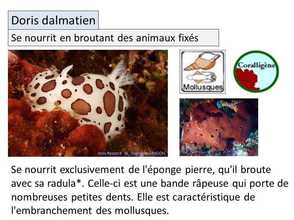 Se nourrit en broutant des animaux fixés Doris dalmatien Se nourrit exclusivement de l éponge pierre, qu il broute avec sa radula*.