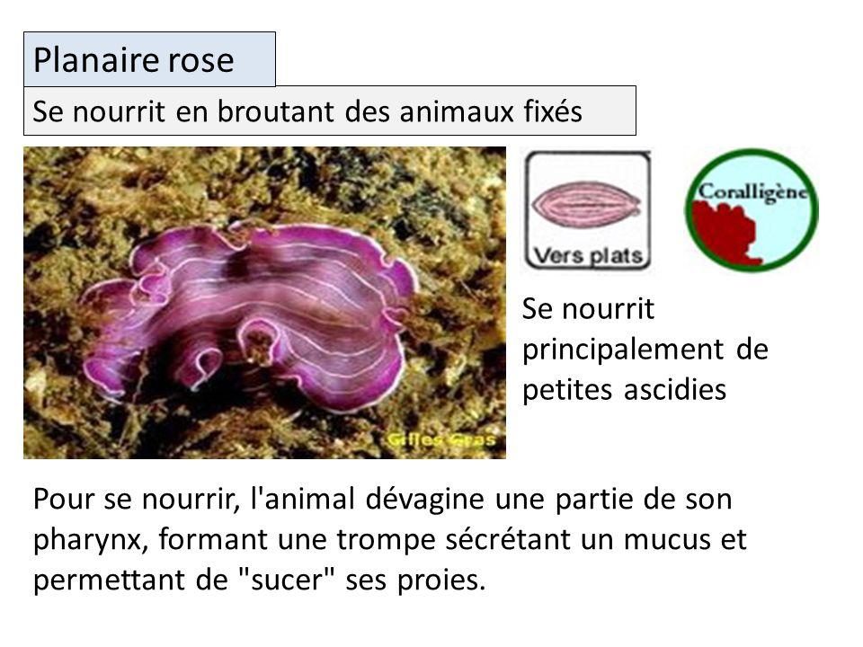 Se nourrit en broutant des animaux fixés Planaire rose Se nourrit principalement de petites ascidies Pour se nourrir, l animal dévagine une partie de son pharynx, formant une trompe sécrétant un mucus et permettant de sucer ses proies.