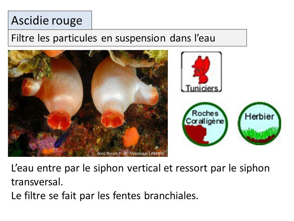 Filtre les particules en suspension dans leau Ascidie rouge Leau entre par le siphon vertical et ressort par le siphon transversal.