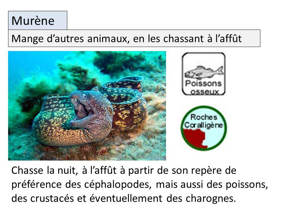Filtre les particules en suspension dans leau Murène Chasse la nuit, à laffût à partir de son repère de préférence des céphalopodes, mais aussi des poissons, des crustacés et éventuellement des charognes.