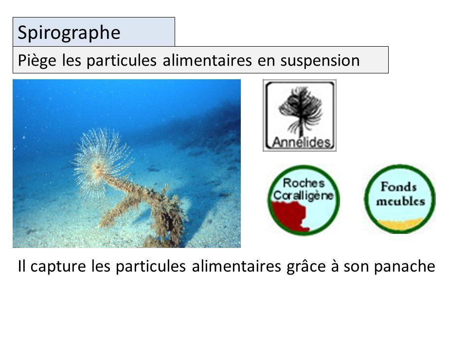 Spirographe Il capture les particules alimentaires grâce à son panache Piège les particules alimentaires en suspension