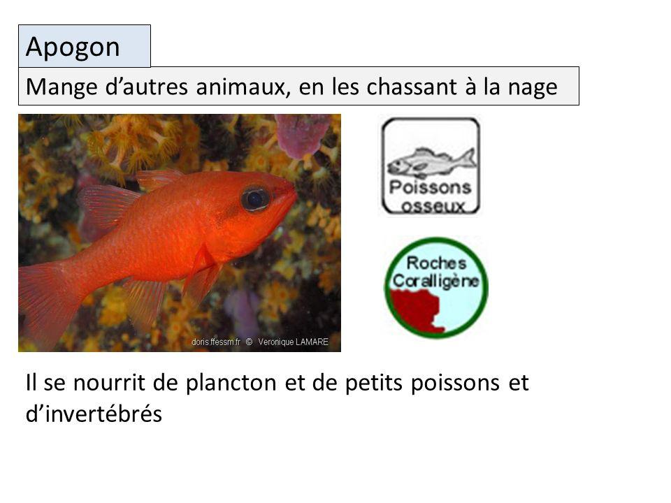 Il se nourrit de plancton et de petits poissons et dinvertébrés Mange dautres animaux, en les chassant à la nage Apogon