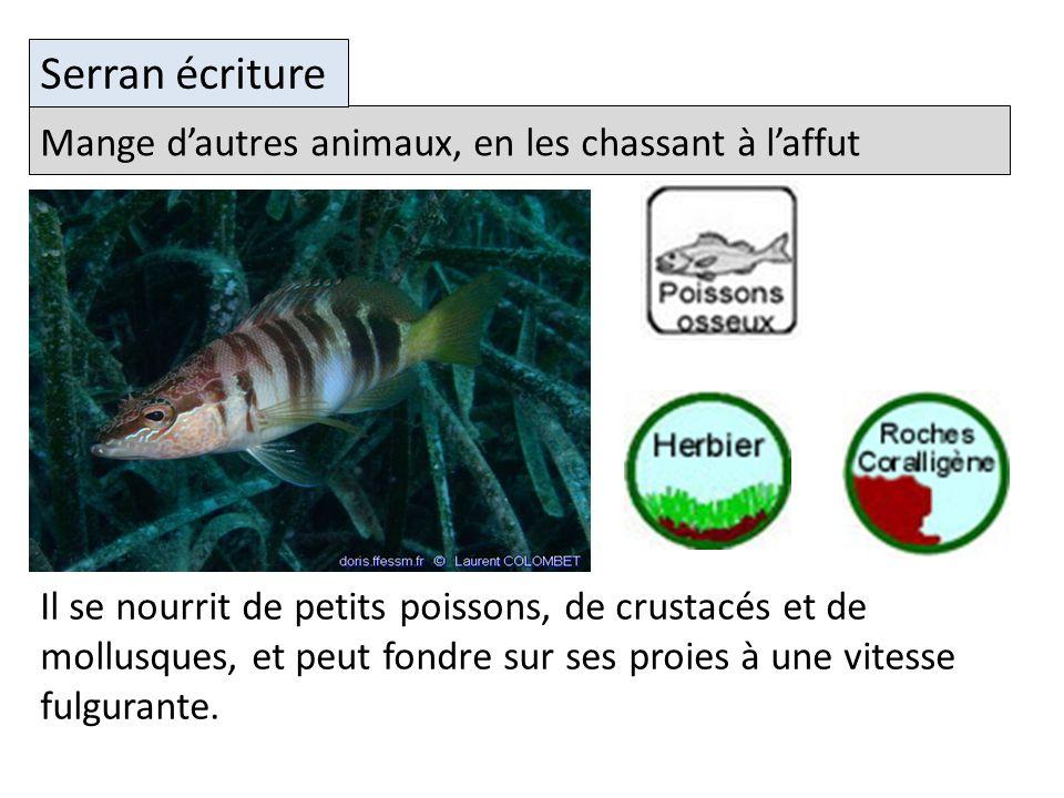 Mange dautres animaux, en les chassant à laffut Serran écriture Il se nourrit de petits poissons, de crustacés et de mollusques, et peut fondre sur ses proies à une vitesse fulgurante.