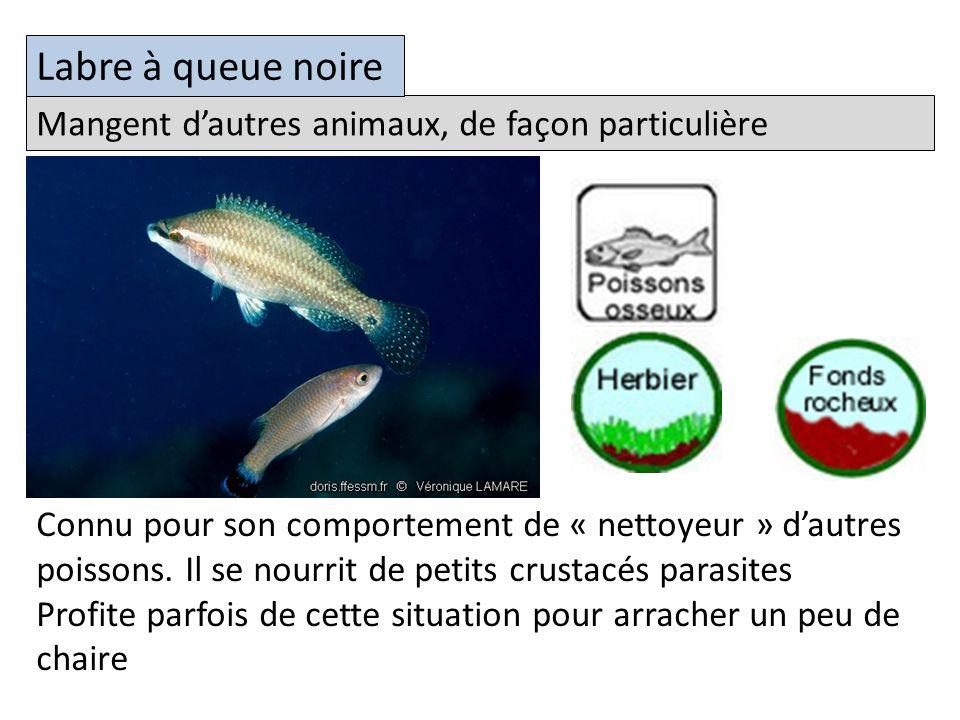 Mangent dautres animaux, de façon particulière Labre à queue noire Connu pour son comportement de « nettoyeur » dautres poissons.