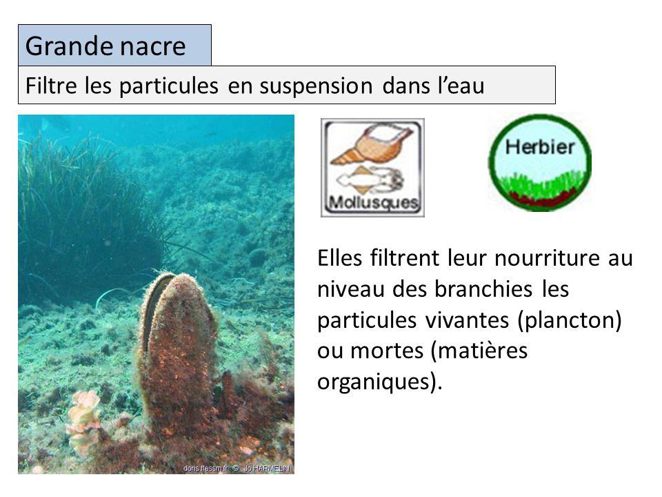 Grande nacre Elles filtrent leur nourriture au niveau des branchies les particules vivantes (plancton) ou mortes (matières organiques).