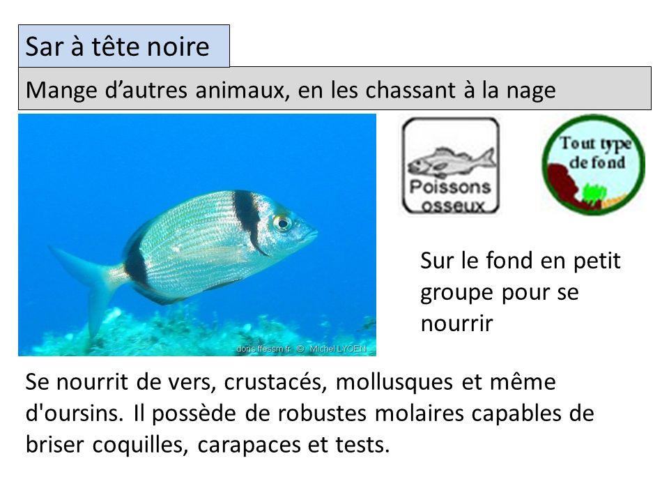 Mange dautres animaux, en les chassant à la nage Sar à tête noire Se nourrit de vers, crustacés, mollusques et même d oursins.