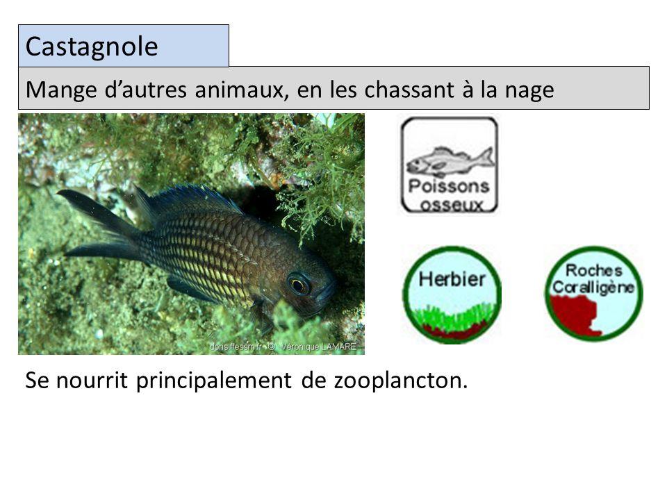 Mange dautres animaux, en les chassant à la nage Castagnole Se nourrit principalement de zooplancton.