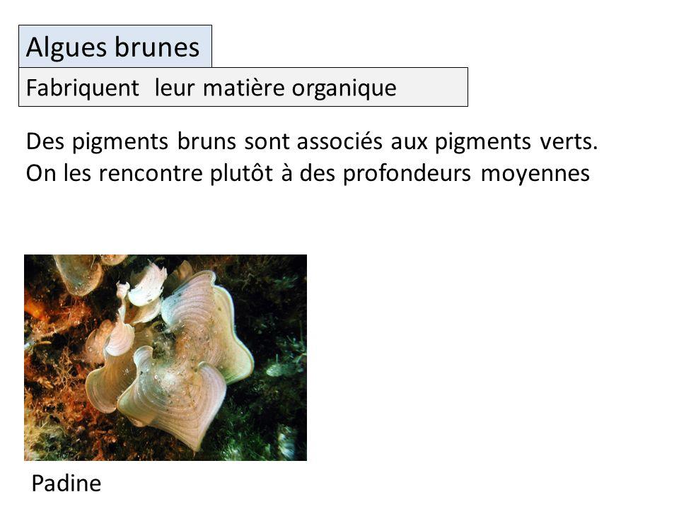 Padine Algues brunes Des pigments bruns sont associés aux pigments verts.