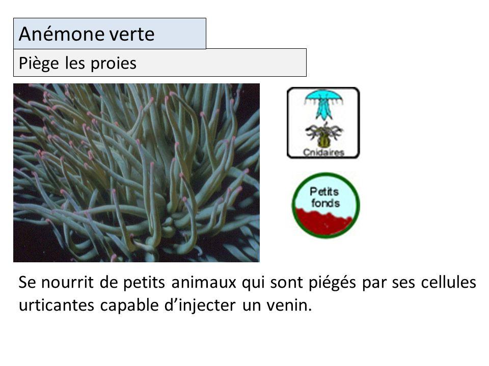 Piège les proies Anémone verte Se nourrit de petits animaux qui sont piégés par ses cellules urticantes capable dinjecter un venin.