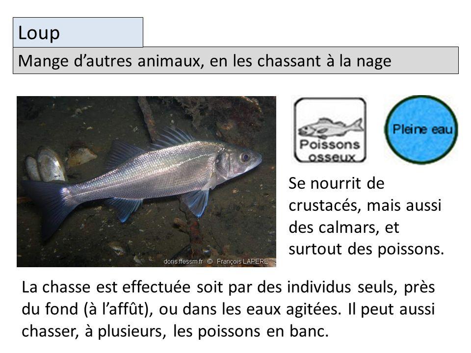 Mange dautres animaux, en les chassant à la nage Loup Se nourrit de crustacés, mais aussi des calmars, et surtout des poissons.