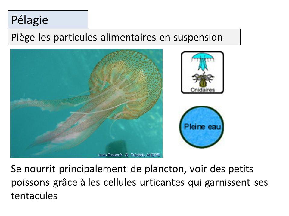 Pélagie Se nourrit principalement de plancton, voir des petits poissons grâce à les cellules urticantes qui garnissent ses tentacules Piège les particules alimentaires en suspension