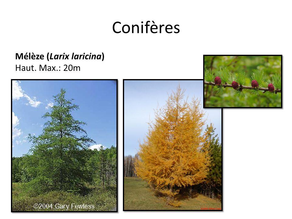 Conifères Mélèze (Larix laricina) Haut. Max.: 20m