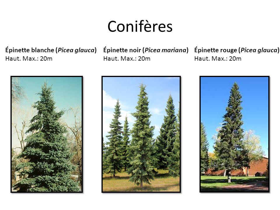 Conifères Épinette noir (Picea mariana) Haut. Max.: 20m Épinette blanche (Picea glauca) Haut. Max.: 20m Épinette rouge (Picea glauca) Haut. Max.: 20m
