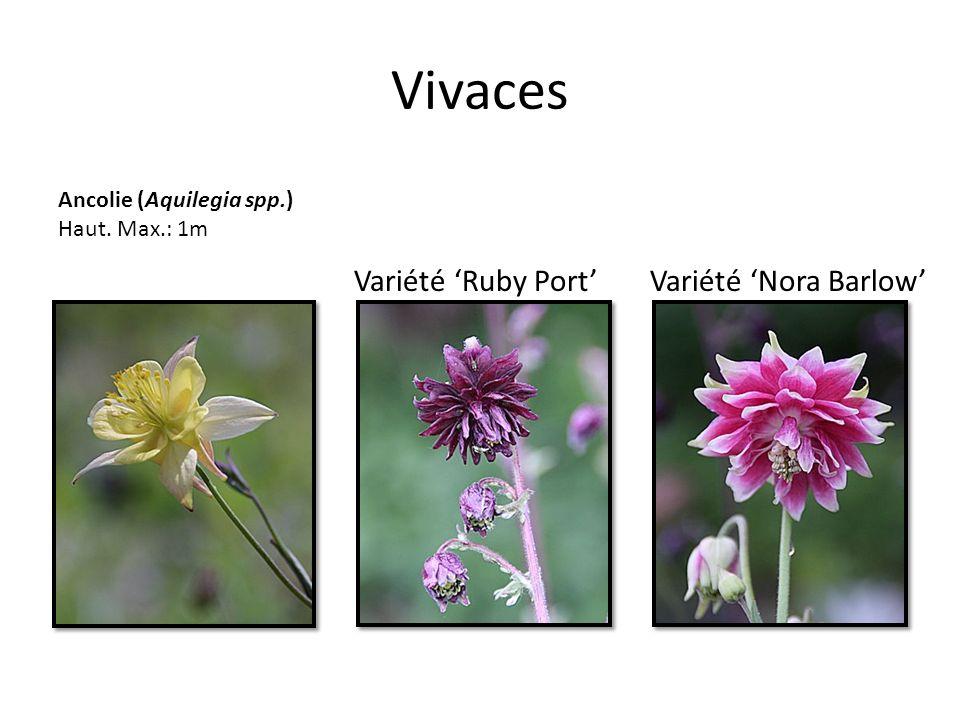 Vivaces Ancolie (Aquilegia spp.) Haut. Max.: 1m Variété Nora BarlowVariété Ruby Port