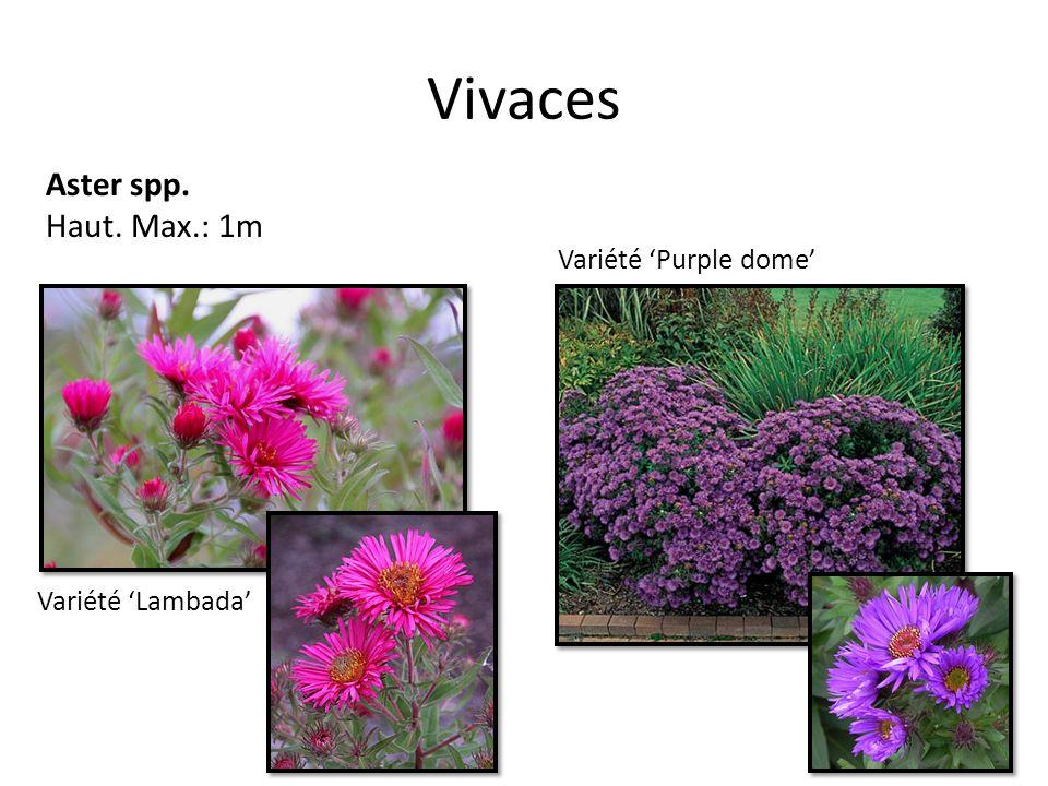 Vivaces Aster spp. Haut. Max.: 1m Variété Purple dome Variété Lambada