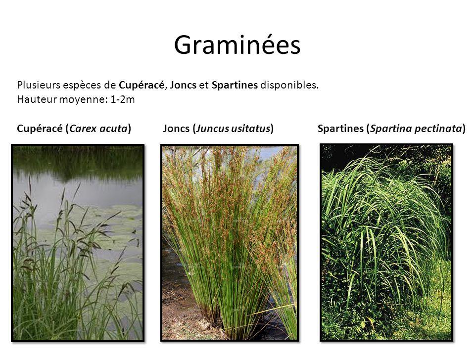Graminées Plusieurs espèces de Cupéracé, Joncs et Spartines disponibles. Hauteur moyenne: 1-2m Cupéracé (Carex acuta)Joncs (Juncus usitatus)Spartines