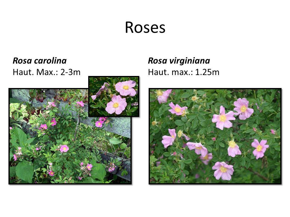 Roses Rosa carolina Haut. Max.: 2-3m Rosa virginiana Haut. max.: 1.25m