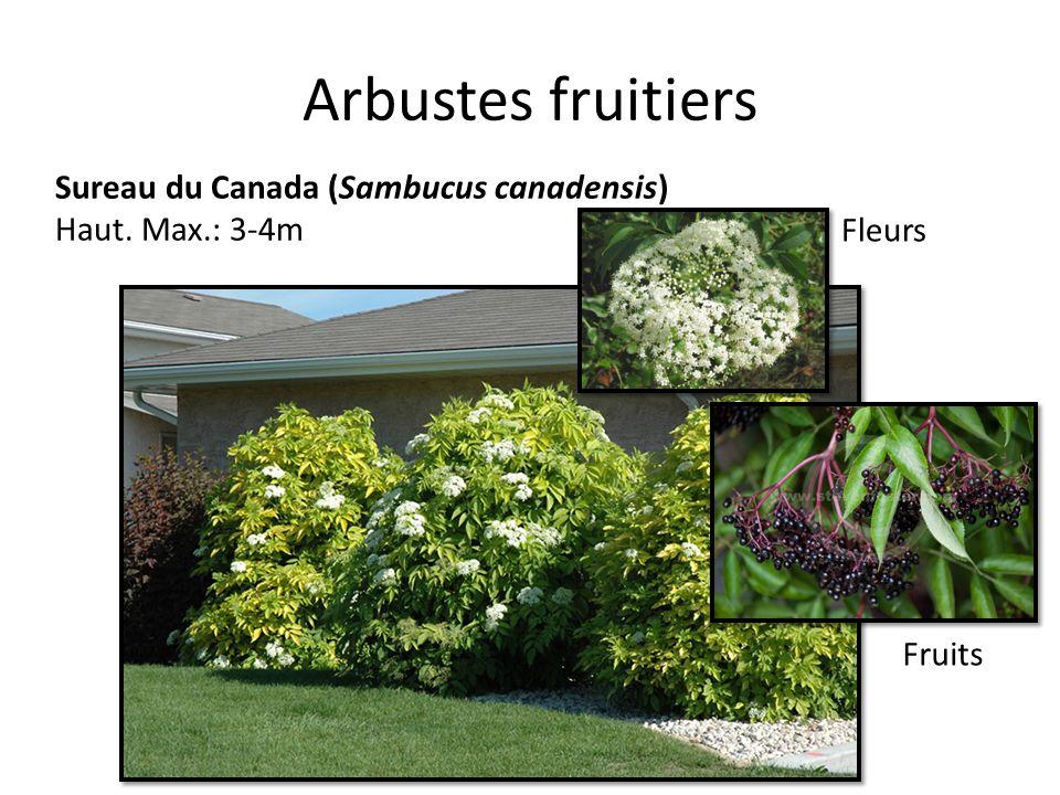 Arbustes fruitiers Sureau du Canada (Sambucus canadensis) Haut. Max.: 3-4m Fleurs Fruits