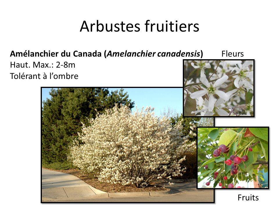 Arbustes fruitiers Amélanchier du Canada (Amelanchier canadensis) Haut. Max.: 2-8m Tolérant à lombre Fleurs Fruits